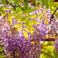 lentebloemen serie, blauweregen latwerk