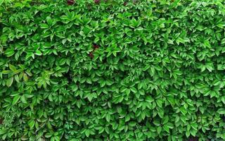 ideeën voor tuin - groene klimopachtergrond foto