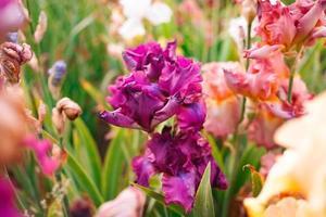gladiolen in overblijvende tuin op zonnige dag foto