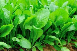 blad mosterd in groei in de tuin foto