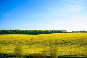 gele verkrachtingsbloemen en blauwe hemel met wolken.