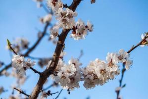 bloesem abrikozenboom bloem, lenteseizoen voor achtergrond