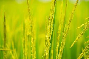 rijping van graan in het veld