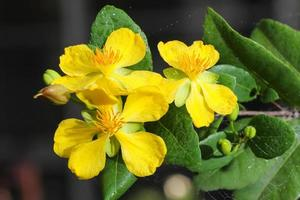 ochna integerrima (lour.) merr., micky mouse plant