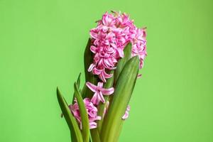 roze hyacint bloesem foto