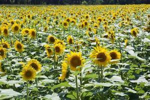 een veld met zonnebloemen
