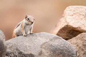 grondeekhoorn staande op een rots foto