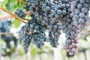 druiven in wijngaard foto
