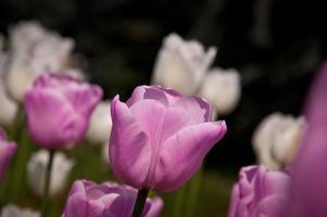 roze tulp foto