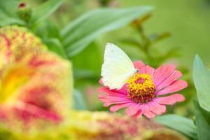 vlinder eet de siroop op de bloem. foto