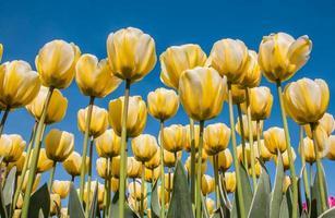 witte en gele tulpen tegen een blauwe hemel