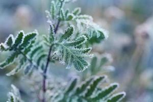 plant, bladeren of gebladerte bedekt met rijp, rijp of rijp