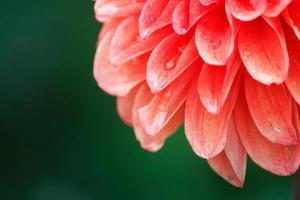 bloemblaadjes van dahlia bloem met waterdruppeltjes