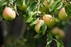 peer op een tak in een boomgaard