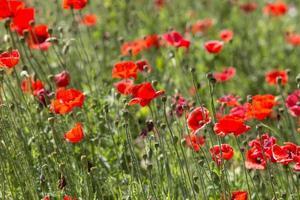 klaproos bloemen
