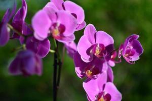 orquidea phalaenopsis foto