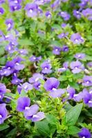 paarse lavendelbloemen in het veld foto