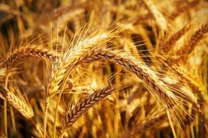 gouden oren van tarwe op het veld. foto