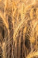 close up van een tarweveld foto