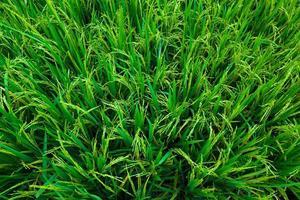 weelderige groene rijstveldachtergrond foto