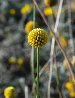 Australische drumstick bloem foto