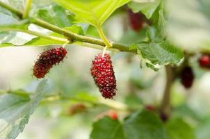 moerbeivruchten in aardachtergronden. foto