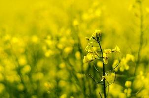 koolzaad, koolzaad, oliehoudende zaden foto