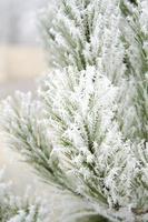 hiver, sapin, givre, nature