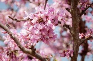 boom met roze bloemen foto