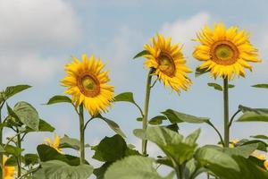 drie zonnebloemen tegen blauwe hemel