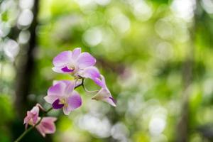 roze orchidee foto