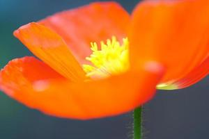 gloeiende artistieke weergave macro van maïs papaver bloemen