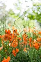 bloeiende klaprozen foto