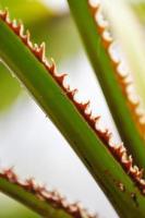 bladeren van palmboom foto