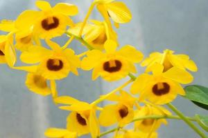 dendrobium chrysotoxum, gele orchidee