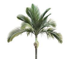 palmboom geïsoleerd op een witte achtergrond foto