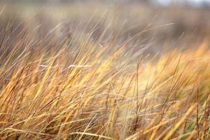 herfst droog gras zegge
