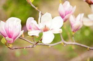 mooie roze magnolia bloem foto