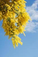 Australische acacia