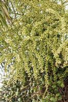 betelnoot of are-ca-nootpalm op boom foto
