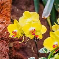prachtige orchideeën, phalaenopsis, in kas foto