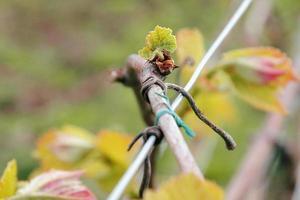 vroege wijnstok in het voorjaar