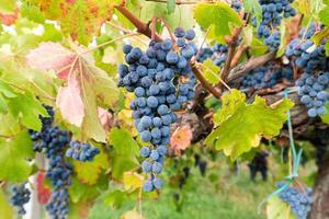 tros druiven om te oogsten