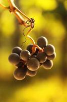 rijpe druiven