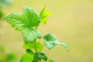 groene bladeren, macro-opname. foto