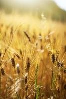 gouden tarweveld