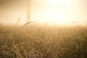gouden riet in een straal zonlicht foto