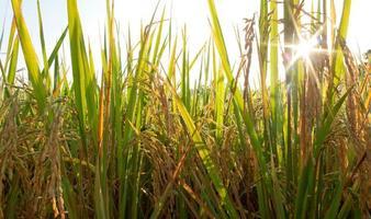 zonnige dag op rijstveld