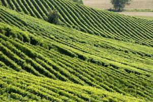 heuvels met wijngaarden foto