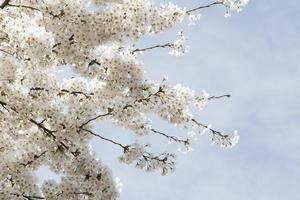witte kersenbloesems tegen een blauwe hemel foto